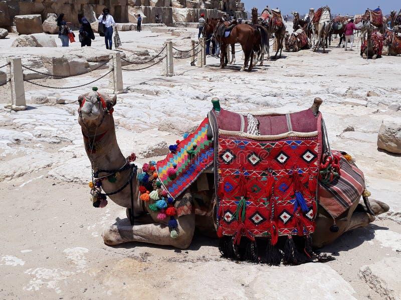maio, 6, 2019 A pir?mide de Giza, o Cairo, Egito Camelo com uma sela colorida fotos de stock