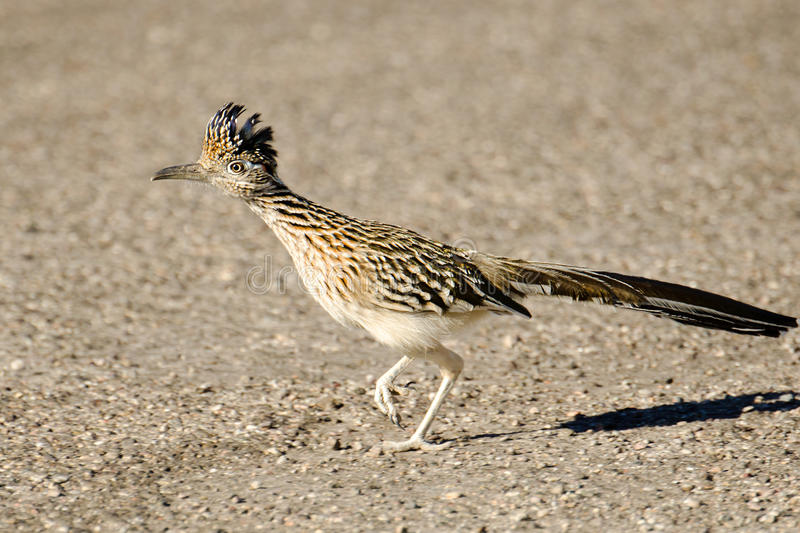 Maior corredor do pássaro do Roadrunner, o Arizona, EUA foto de stock