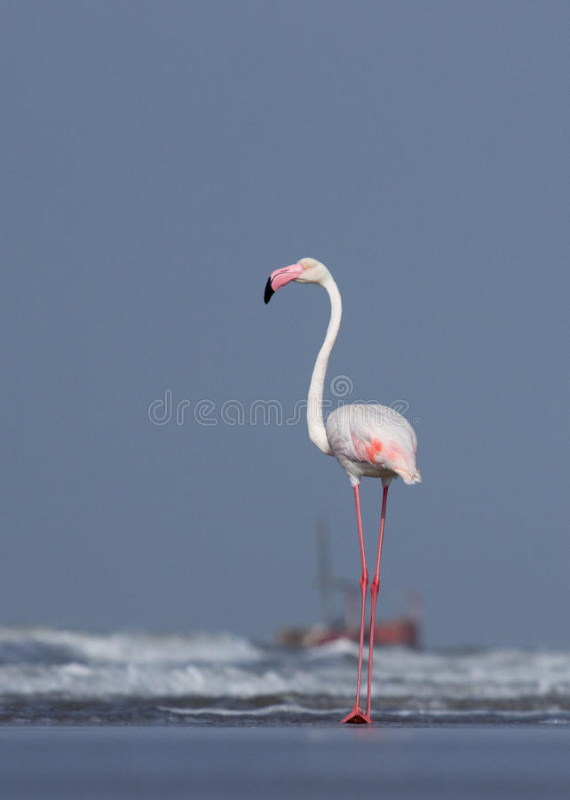 Maior flamingo fotografia de stock royalty free