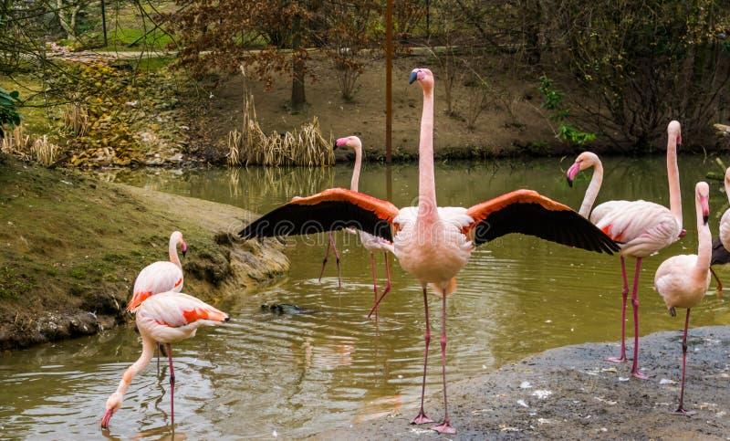 Maior flamingo que está na água com sua família, flamingo que desdobra suas asas fotografia de stock royalty free