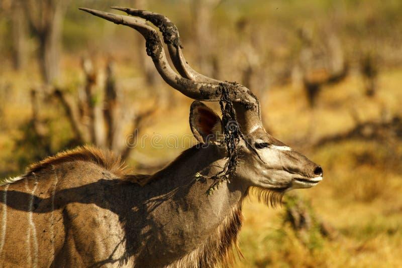 Maior Kudu africano Bull fotos de stock