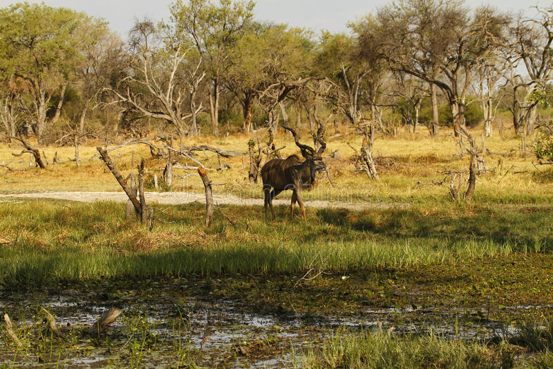 Maior Kudu africano Bull foto de stock royalty free
