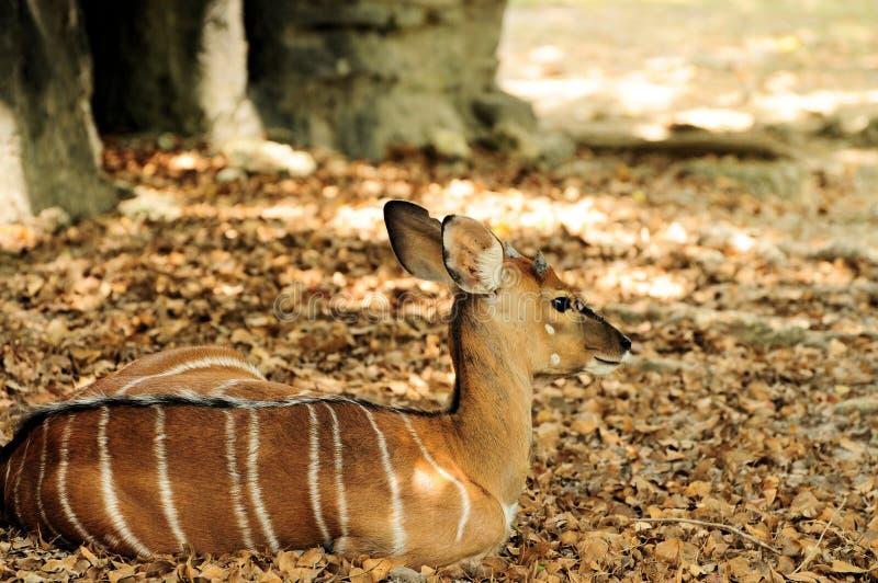 Maior Kudu fêmea imagens de stock