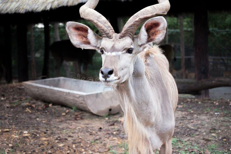 Maior kudu que está exterior foto de stock