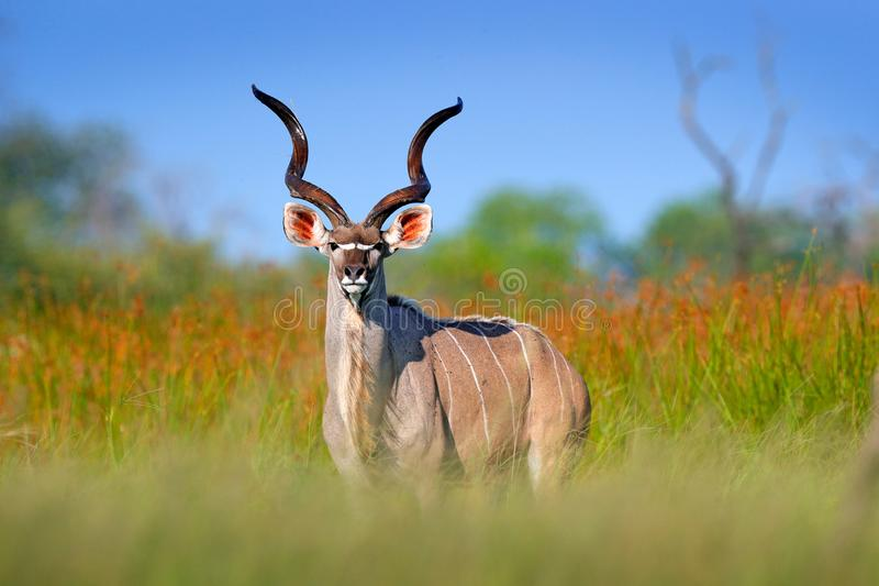 Maior kudu, strepsiceros do Tragelaphus, antílope considerável com chifres espirais Animal no habitat verde do prado, delta de Ok fotografia de stock