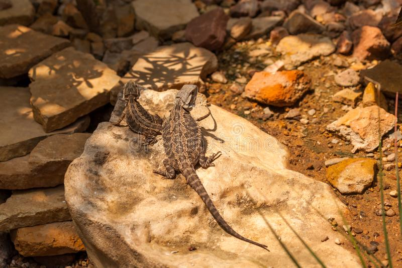 Maior lagarto Horned curto foto de stock
