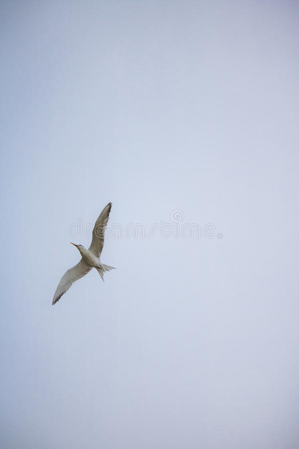 Maior pássaro com crista da andorinha-do-mar no voo meados de pela margem na praia de Paarden Eiland no nascer do sol foto de stock royalty free