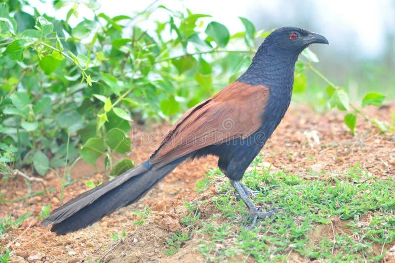Maior pássaro de Coucal fotografia de stock royalty free