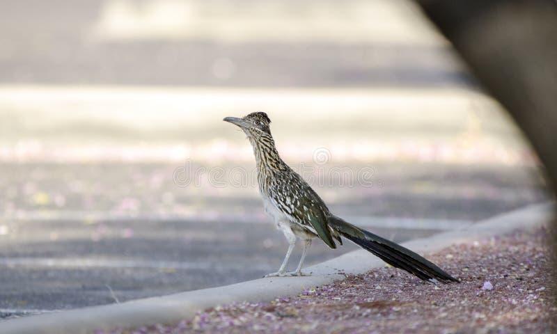 Maior pássaro do Roadrunner, deserto do sudoeste, Tucson o Arizona fotografia de stock