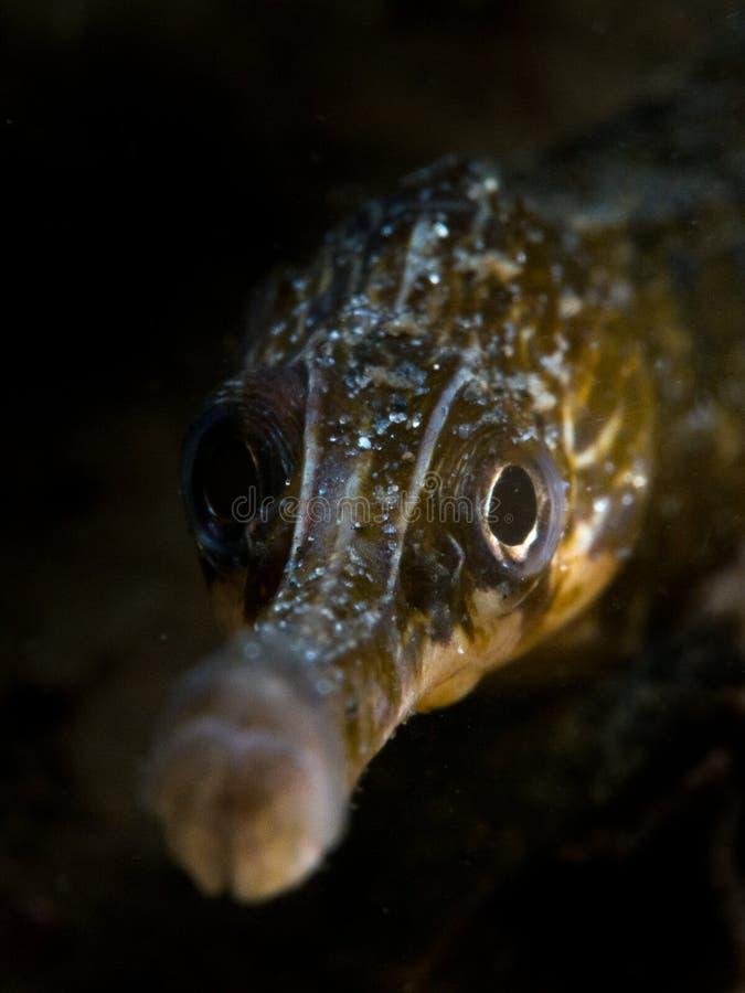 Maior Pipefish - Loch Sween imagem de stock