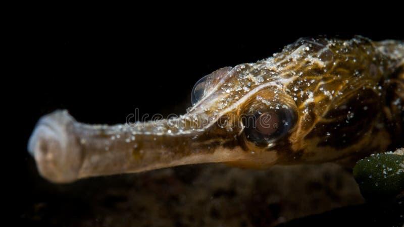 Maior Pipefish - Loch Sween imagens de stock royalty free