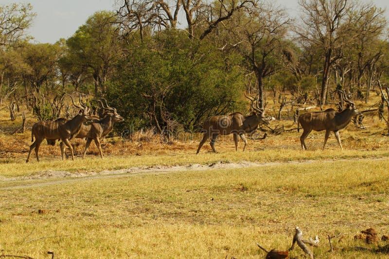 Maior rebanho africano de Kudu foto de stock