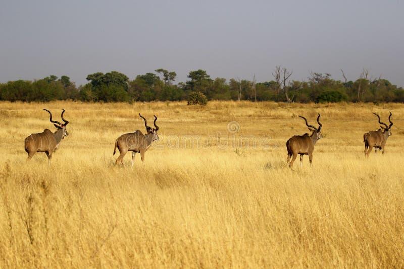 Maior rebanho africano de Kudu de touros grandes fotos de stock royalty free