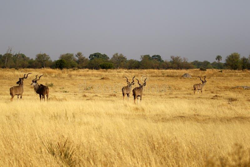 Maior rebanho africano de Kudu de touros grandes imagens de stock royalty free