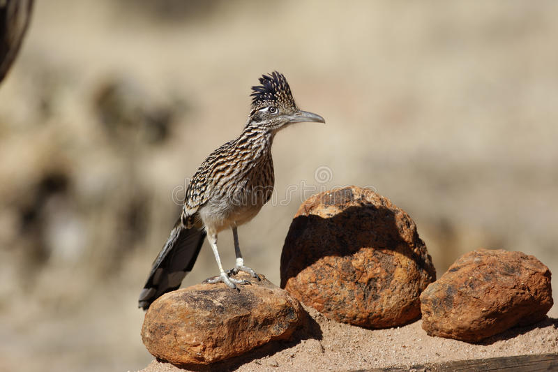 Maior roadrunner, californianus do Geococcyx foto de stock royalty free