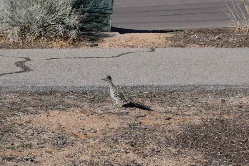 Maior Roadrunner o pássaro de estado de New mexico imagens de stock royalty free