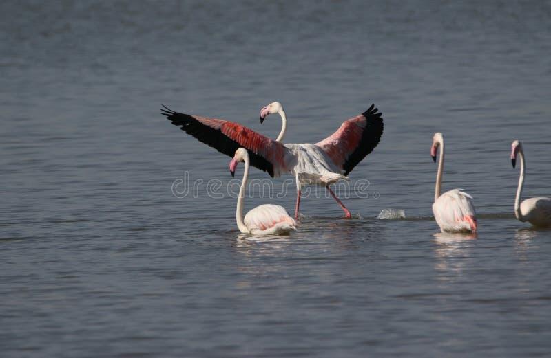 Maior ` s do flamingo fotos de stock royalty free