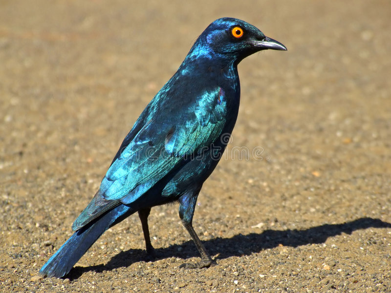 Maior starling azul-orelhudo imagens de stock