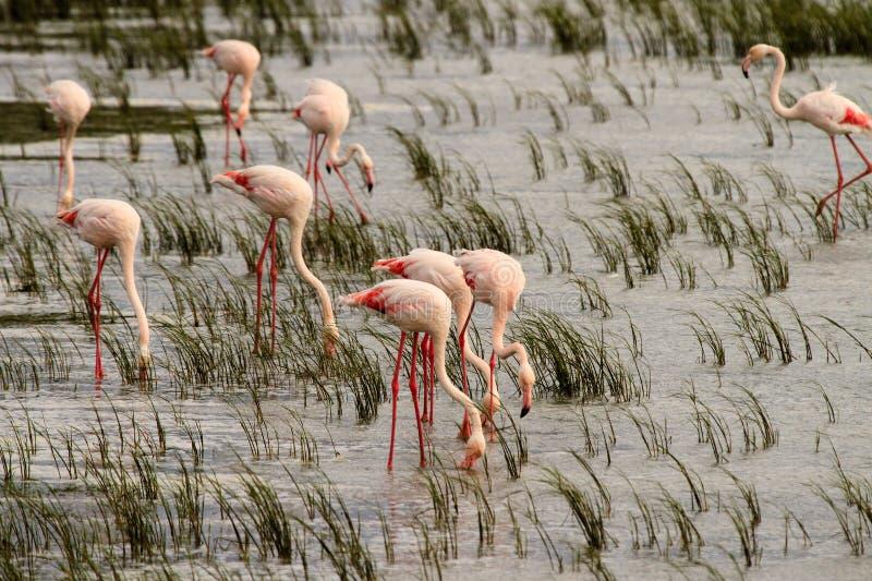 Maiores flamingos (roseus de Phoenicopterus) fotos de stock