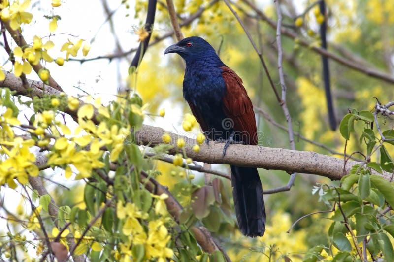 Maiores pássaros do sinensis do Centropus de Coucal de Tailândia fotografia de stock royalty free