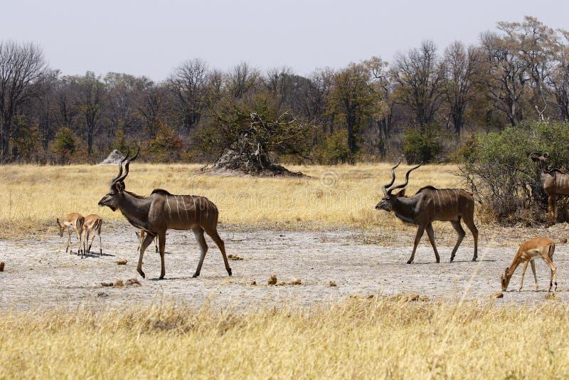 Maiores touros africanos de Kudu com antílopes da impala fotografia de stock