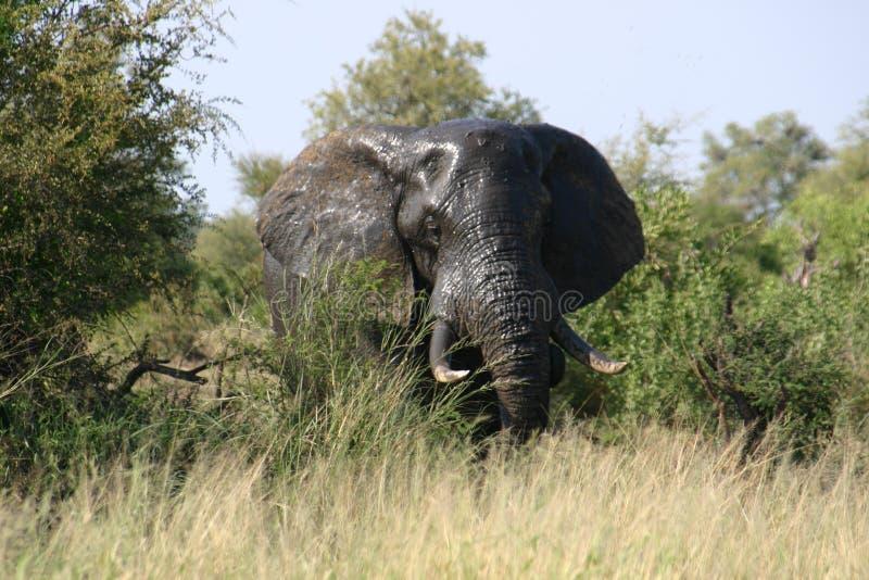 A maioria de cabeça bonita do elefante na natureza fotografia de stock royalty free