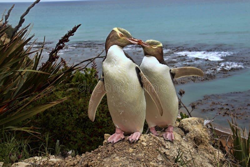 A maioria de vida preciosa do pinguim, pinguim Amarelo-eyed, antípodas de Megadyptes, Nova Zelândia foto de stock