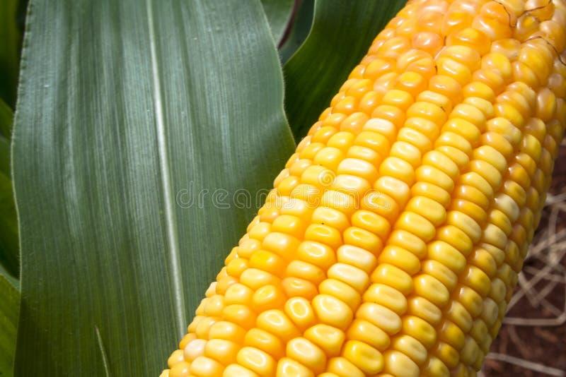 Download Mais stockfoto. Bild von korn, umgebung, bewirtschaften - 47100168