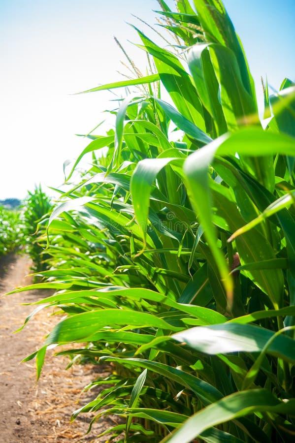 Mais auf dem Feld lizenzfreie stockfotos