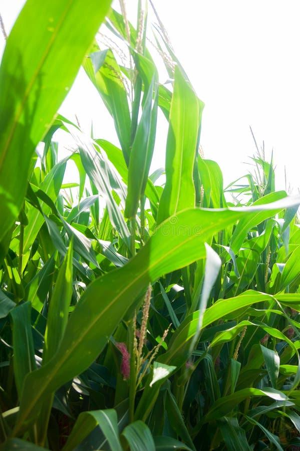 Mais auf dem Feld stockfoto
