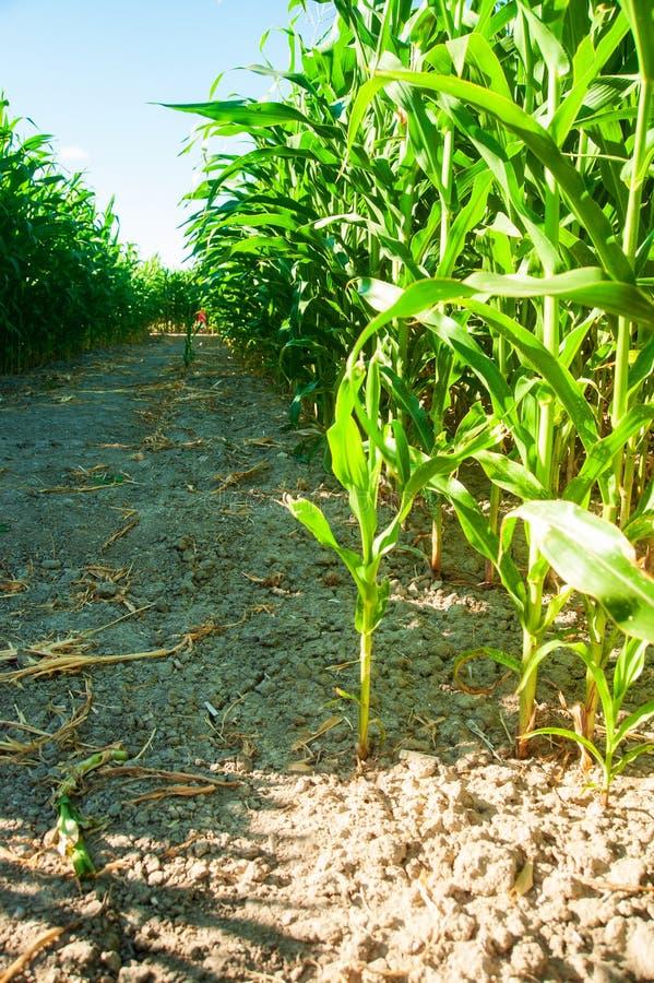 Mais auf dem Feld lizenzfreie stockfotografie