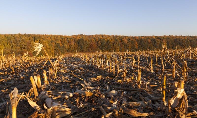 Mais auf dem Gebiet lizenzfreies stockbild
