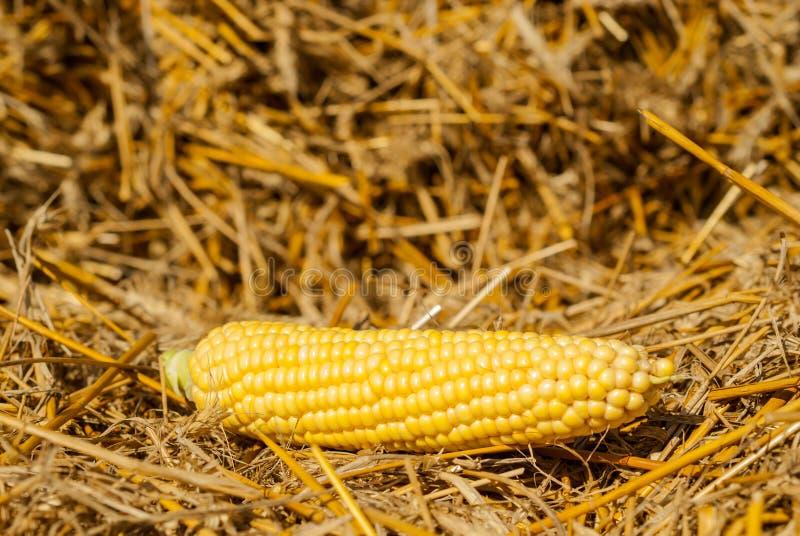Mais auf dem Stroh, Erntezeit stockfoto