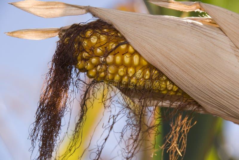 Mais auf Stiel lizenzfreies stockbild