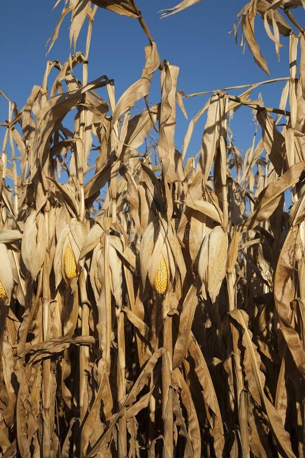 Mais betriebsbereit zur Ernte stockbild