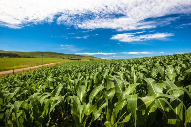 Mais bewirtschaftend, erntet Nahrung   stockfoto