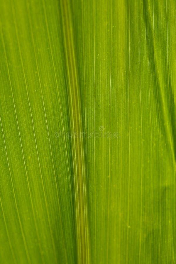 Mais-Blatt-Nahaufnahme-Grün-Hintergrund lizenzfreie stockfotos