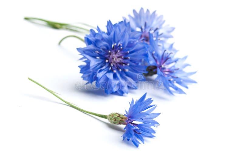 Mais-Blumennahaufnahme stockfoto