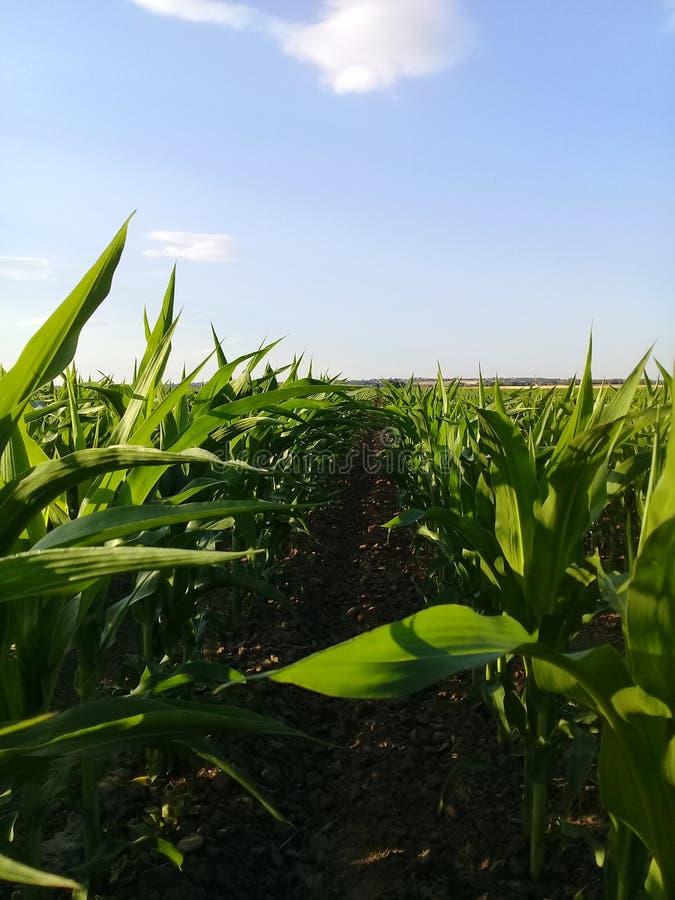 Mais e cielo del cereale fotografia stock libera da diritti