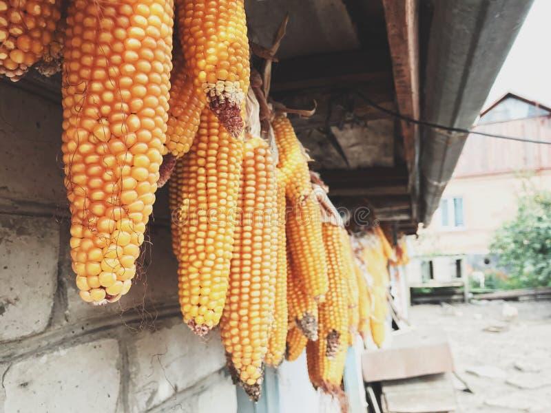 Mais in einem Garten lizenzfreie stockfotos