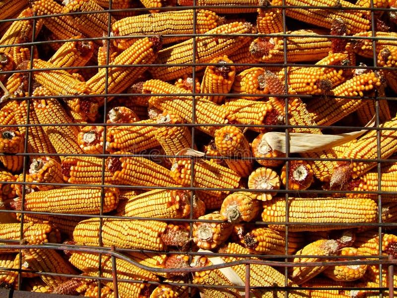 Download Mais-Ernte stockbild. Bild von landwirtschaftlich, blau - 38965