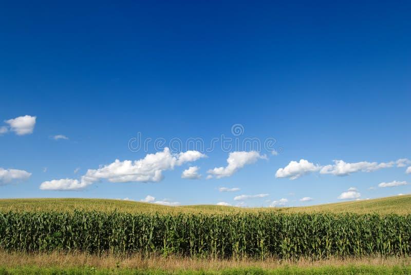 Mais-Feld lizenzfreies stockbild