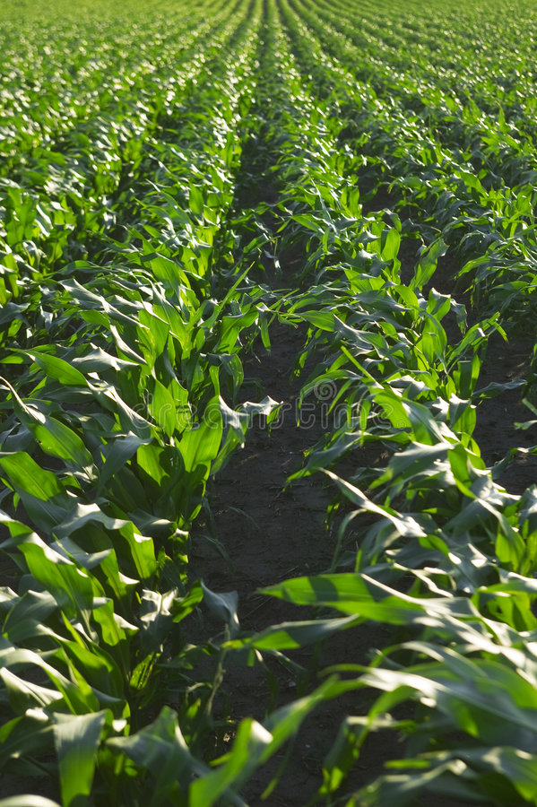 Download Mais-Feld stockbild. Bild von geerntet, wachsen, landwirtschaftlich - 9082841