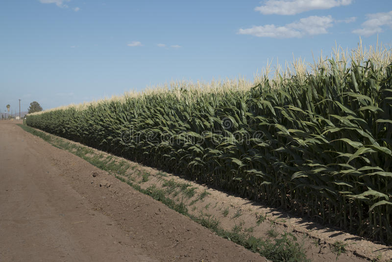 Mais-Feld Monsanto GMO lizenzfreie stockfotos