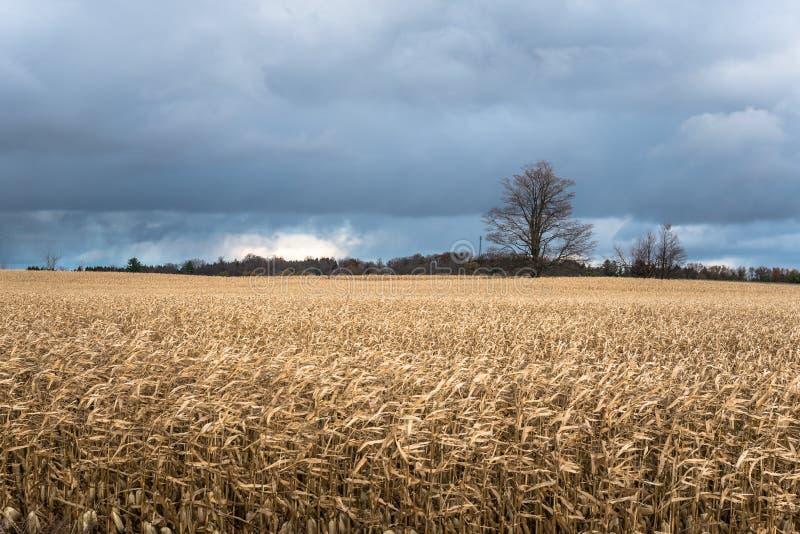 Mais-Feld unter stürmischen Wolken stockbilder