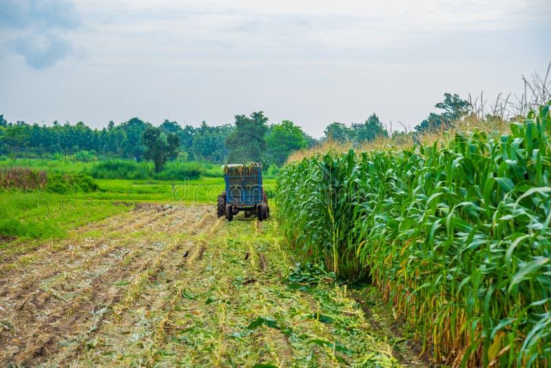 Mais fiel auf dem Gebiet nach Ernte stockbild