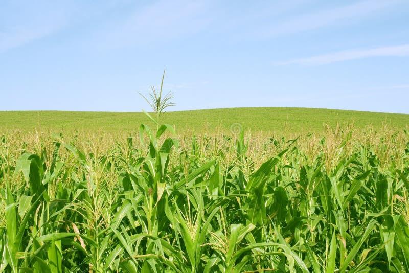 Mais grünes fild und blauer Himmel stockbild