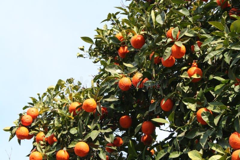 Mais laranjas imagens de stock royalty free