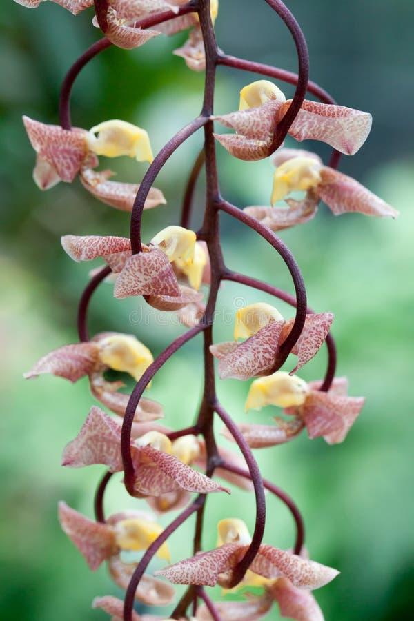 Mais próximo-acima de uma flor de suspensão imagens de stock