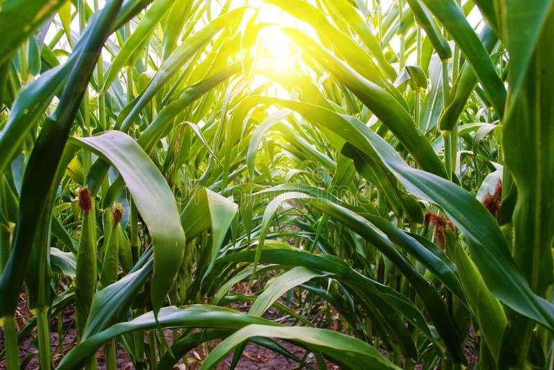 Mais-Reihe auf amischem Mittelwesten-Bauernhof stockbild